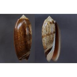 Oliva miniacea marrati