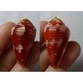 Conus pertusus