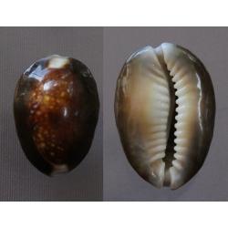 Cypraea caputserpentis