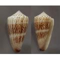 Conus albicans