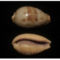 Cypraea walkeri